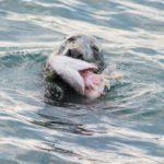 Dalkey Seal Palmerstown Denis Brazil
