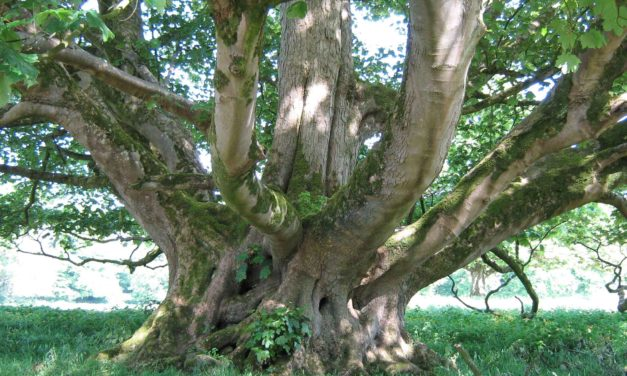 Sycamore trees need to be replaced to prevent sap causing more problems for Lucan residents
