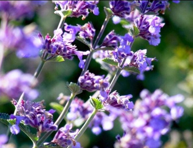 Lavender-Niamh-Russell