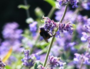 Lavender-With-Bee-Niamh-Russell