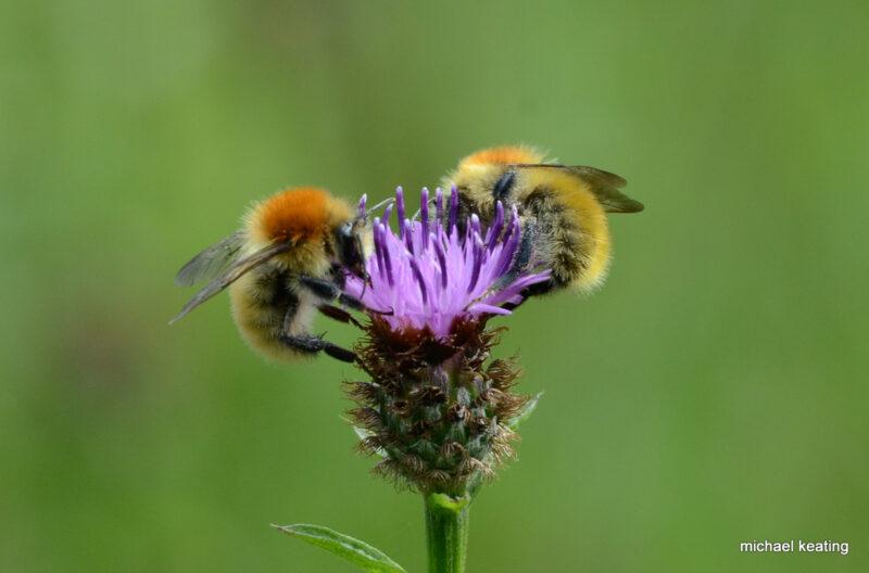 Bees-Bombus-muscorum-Michael-Keating-Gardening-Biodiversity