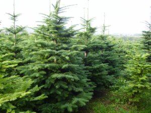 Real Christmas Irish Trees