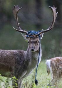 Deer phoenix park Damien Eagers