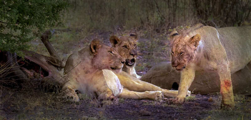Palmerstowm CC Weary Lioness