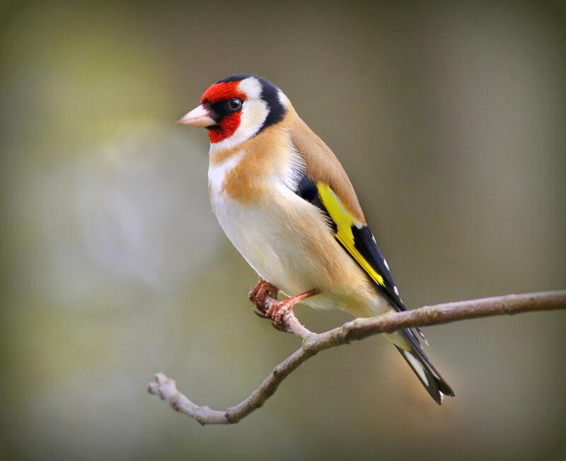 Palmerstown CC Maura Boyle Gold Finch