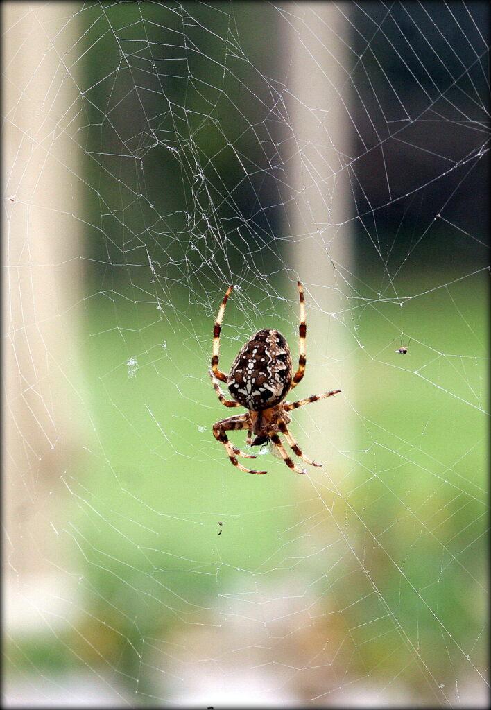 Palmerstown Mary Mangru Spider