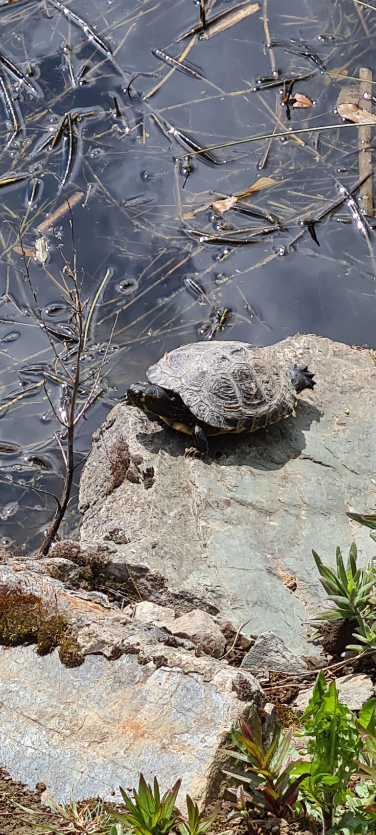 Turtle Saggart